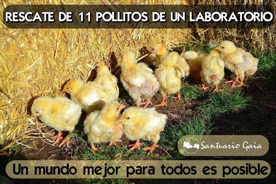 11 pollitos broiler laboratorio