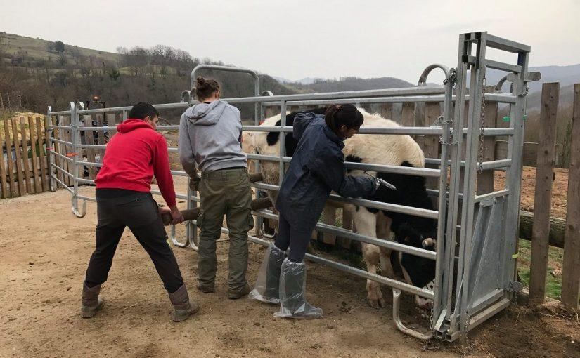 vacunacion vacas veterinaria